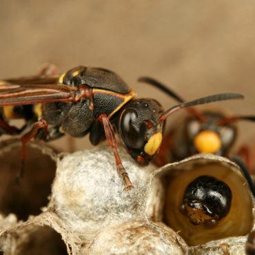 Личинки ос в гнезде, фото