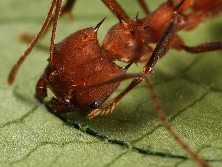 муравьи листорезы картинки образом организм