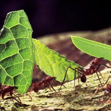 Муравьи-листорезы, фото