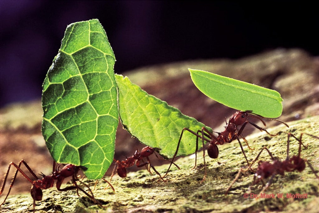 муравьи листорезы картинки это