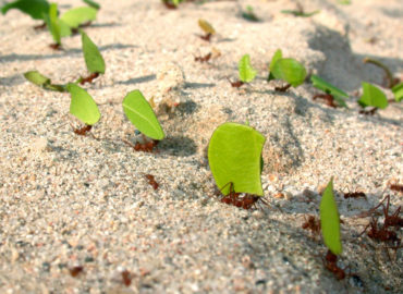 Колония муравьев-листорезов, фото