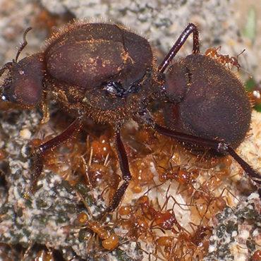 Королева (матка), муравьи-листорезы