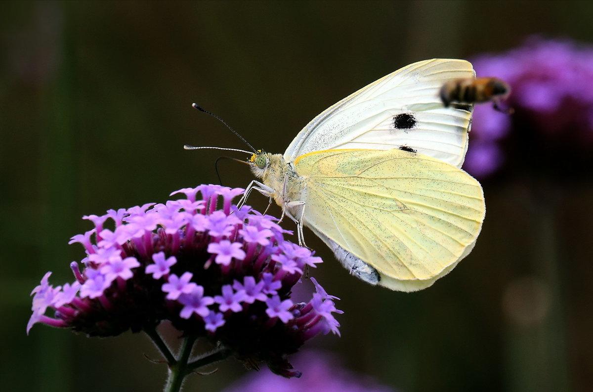 Бабочка Белянка капустная (Капустница). Насекомое вредитель | 793x1200