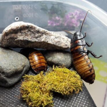 Мадагаскарские тараканы в домашних условиях