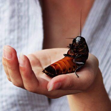 Мадагаскарский шипящий таракан