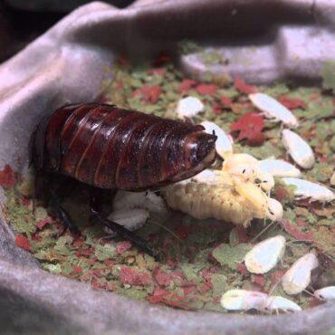 Мадагаскарский таракан, размножение