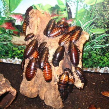Мадагаскарский таракан, инсектарий