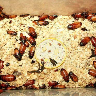 Мадагаскарские тараканы в террариуме