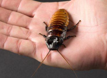 Мадагаскарский таракан, внешний вид