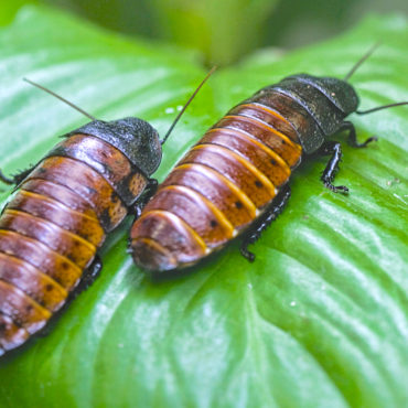 Мадагаскарские тараканы на листе