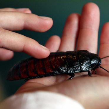 Мадагаскарский таракан в руке
