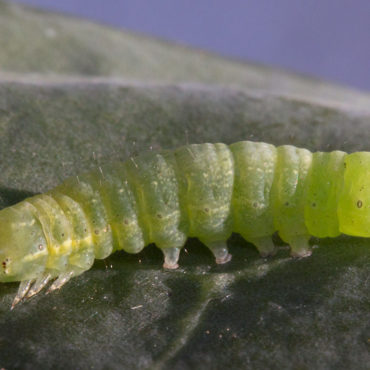 Совка капустная, гусеница, зеленая форма