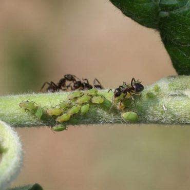 Яблонная тля с муравьями