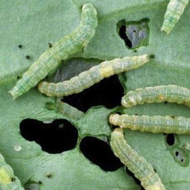 Гусеницы капустной моли на листе