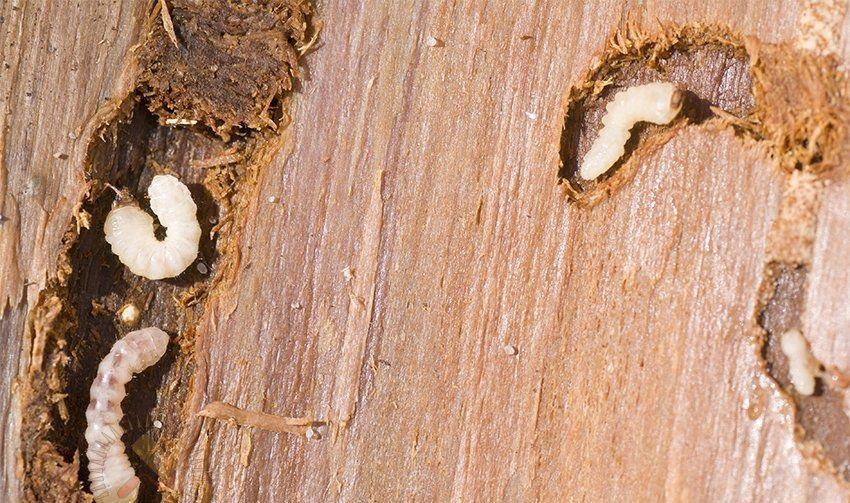 жук древоточец личинка фото является