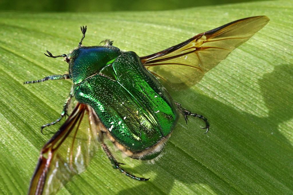 зеленый майский жук фото свежем