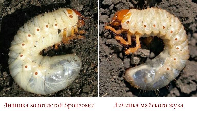 Личинки майского жука и бронзовки, отличия