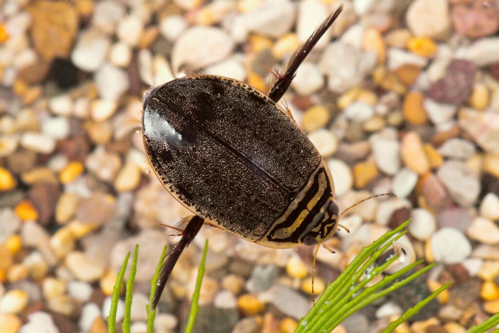 Полоскун бороздчатый (Acilius sulcatus)
