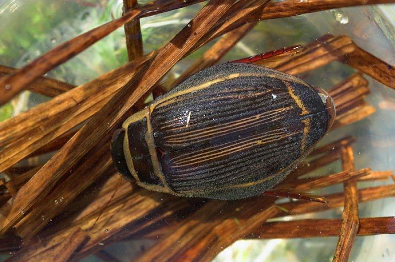 Широчайший или широкий плавунец (Dytiscus latissimus)
