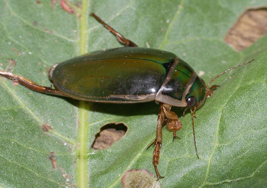 Окаймленный плавунец (Dytiscus marginalis)