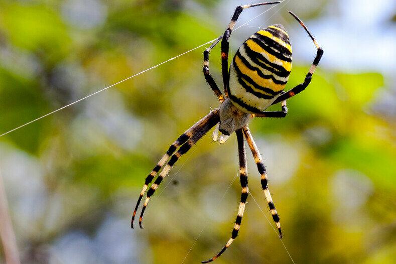 паук с брюшком как у осы фото как расстояние