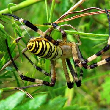Паук-оса (Argiope bruennichi)