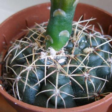 Мучнистый червец на кактусе, внешний вид вредителя