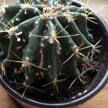 Мучнистый червец на кактусах, фото