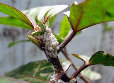 Мучнистый червец на комнатных растениях, фото