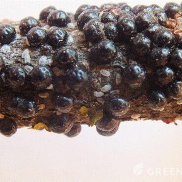 Сливовая ложнощитовка (Lecanium prunastri, Eulecanium prunastri)