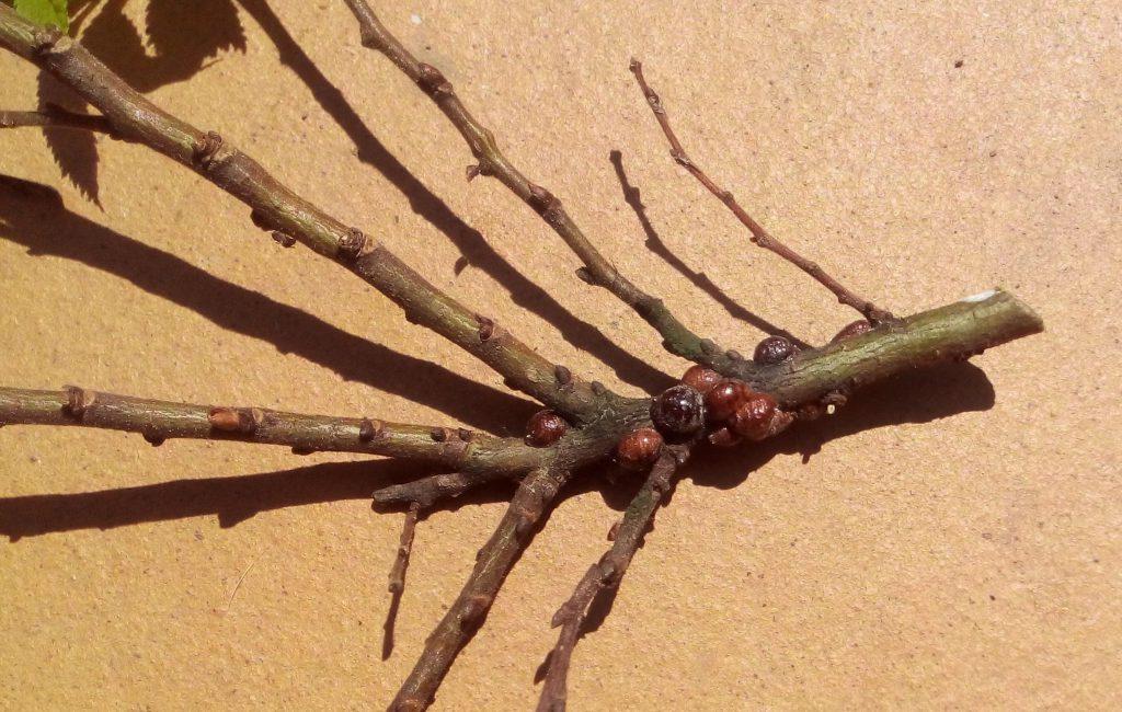 Ложнощитовка на ветке, внешний вид типичного представителя