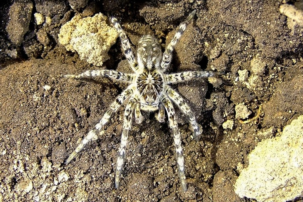 Южнорусский тарантул (мизгирь), внешний вид