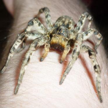 Южнорусский тарантул (мизгирь) на руке