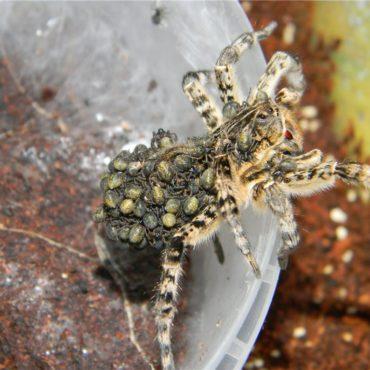 Южнорусский тарантул (мизгирь), детеныши на самке