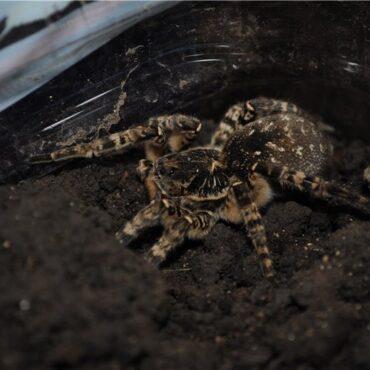 Южнорусский тарантул в террариуме