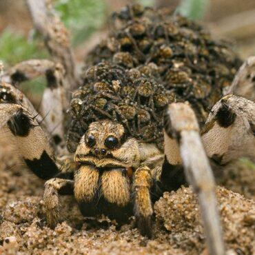 Самка южнорусского тарантула с детенышами