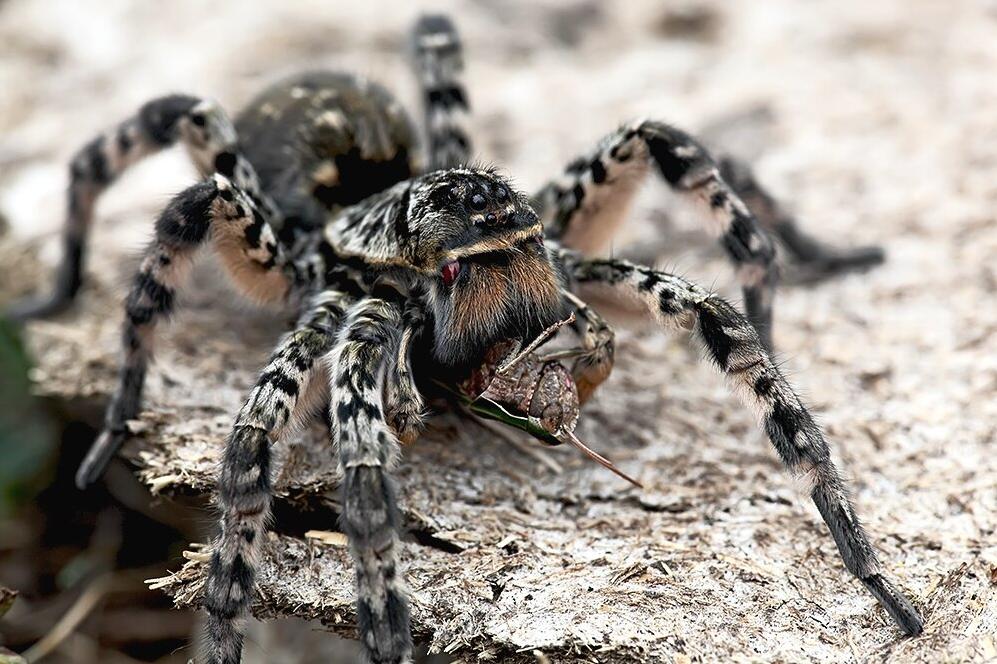 Мизгирь (южнорусский тарантул)