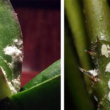 Мучнистый червец на орхидее, внешний вид вредителя