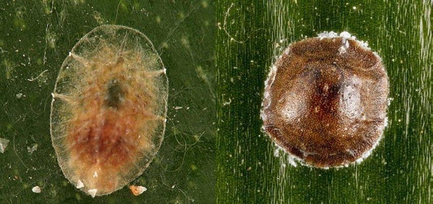 Щитовка (слева) и ложнощитовка (справа)