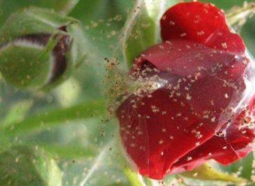 Паутинный клещ на розе, фото