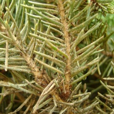 Паутинный клещ на хвойных растениях