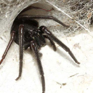 Погребной паук в гнезде, фото