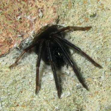 Погребной паук в норе, фото