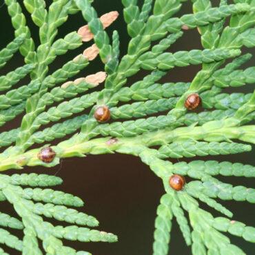 Туевая ложнощитовка (Parthenolecanium fletcheri)