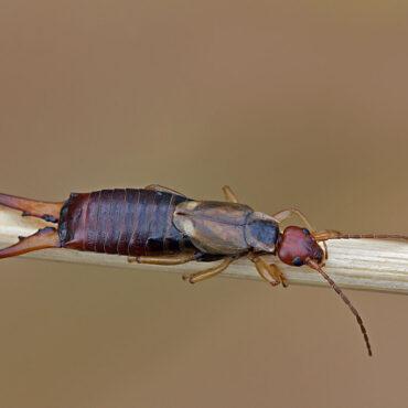 Уховертка обыкновенная (Forficula auricularia)