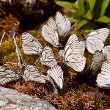 Боярышница, скопление бабочек