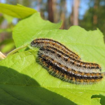 Гусеница бабочки боярышницы, фото