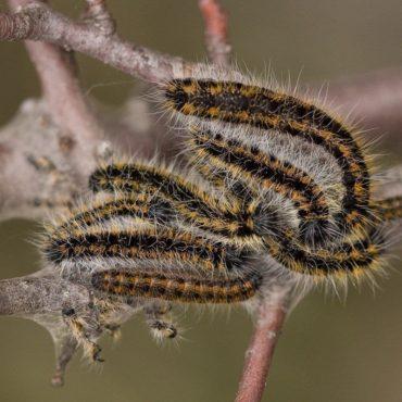 Боярышница (гусеница), внешний вид