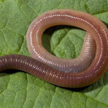 Дождевой (земляной) червь (Lumbricina)