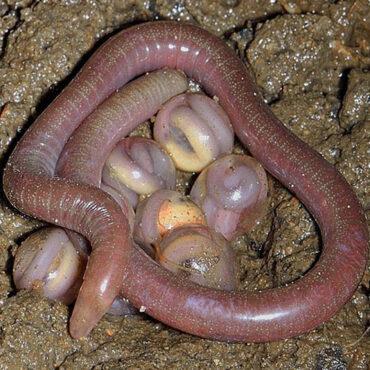 Размножение земляных червей, коконы